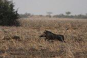 Hog near running after a wolf saving her baby  Senegal