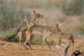 Young african wolf  in mating position on another male