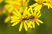 Round-necked longhorn on Ragwort flowers France