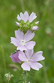 Mauve flowers in a wasteland Lorraine France