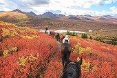 Shipping horse in autumn Yukon Canada  ; South Lakeland, near Coal Lake