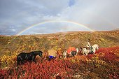 Shipping horse in autumn Yukon Canada  ; South Lakeland,