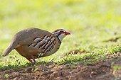 Red-legged Partridge in a field Spain