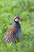 Red-legged Partridge in a meadow  Spain