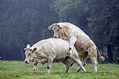 Charolais cow climbing another cow France