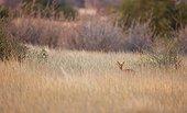 Steenbok in the savanna in Namibia