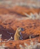 South african ground squirrel in the savanna in Namibia