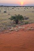 Dune and savanna in the desert of Kalahari in Namibia