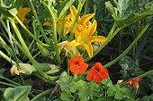 Zucchinis and nasturtium in an organic kitchen garden