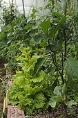 Eggplant culture under greenhouse
