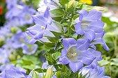 Scheuchzer's bellflower in bloom in a garden