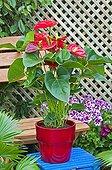 Anthurium 'Alabama' in pot on a garden terrace