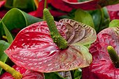 Anthurium 'Alabama' in bloom in a garden