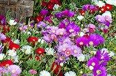 Livingstone daisies in bloom in a garden