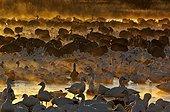 Snow Geese at dawn Bosque del Apache USA