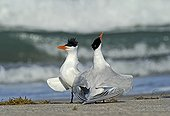 Royal terns dislaying on the beach Cape Canaveral USA