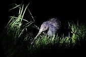 Northern Brown Kiwi - Kerikeri New Zealand
