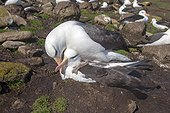 Black-browed albatross mating Falkland