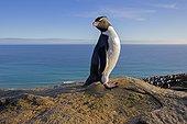 Southern Rockhopper Penguin on a rock - Falkland Island