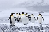 King penguins in snow - Southern Georgia