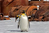 King penguins among the ruins of the whaling station