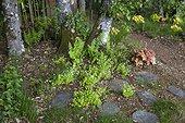 Woodruffs in a wild garden