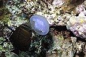 Sailfin Tang eating a Moon jellyfish - Red Sea Egypt