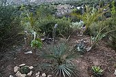 European fan palm in a garden  Morocco ; Landscapers: Ossart and Maurières