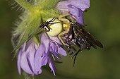 Goldenrod Spider male female and prey -  Øland Sweden
