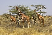 Reticulated giraffe Weaver - Kenya