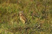 Burrowing Owl - Venezuela