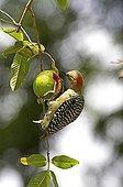 Red-crowned Woodpecker - Venezuela