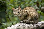 Chat sauvage d'Afrique adulte sur une branche