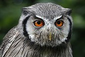 White-faced Scops-Owl - Africa