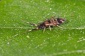 Hairy Ground Springtail on a leaf - Denmark