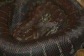Bredl's Carpet python