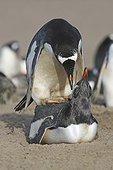 Gentoo penguins mating - Falklands islands