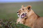 Lionne couchée et lionceau dans la savane - Masaï Mara Kenya