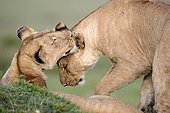 Lioness and young lion in the savanna - Masai Mara Kenya