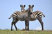 Plain Zebras in the savannah - Masai Mara Kenya