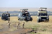Cheetahs and vision vehicles on the road - Masai Mara Kenya