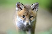 Portrait of young Red Fox - France