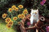 Kitten in an old wheel and flowering Gazania