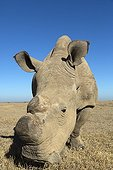Northern White Rhinoceros on the savannah - Kenya  ; There are only 8 left in a captive environment.