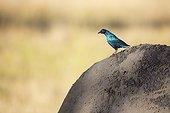 Greater Blue-eared Starling sitting on a rhino - Kenya