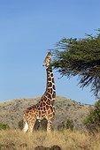 Reticulated Giraffe feeding - Kenya
