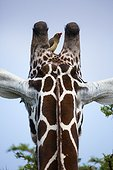 Reticulated Giraffe with a Red-billed oxpecker  - Kenya
