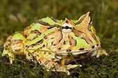 Ornate Horned Frog on moss