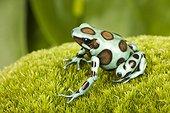 Green-and-black Poison Dart Frog 'Birkhan spot' on moss