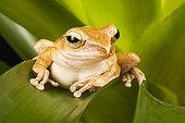 Four-lined Tree Frog on a leaf